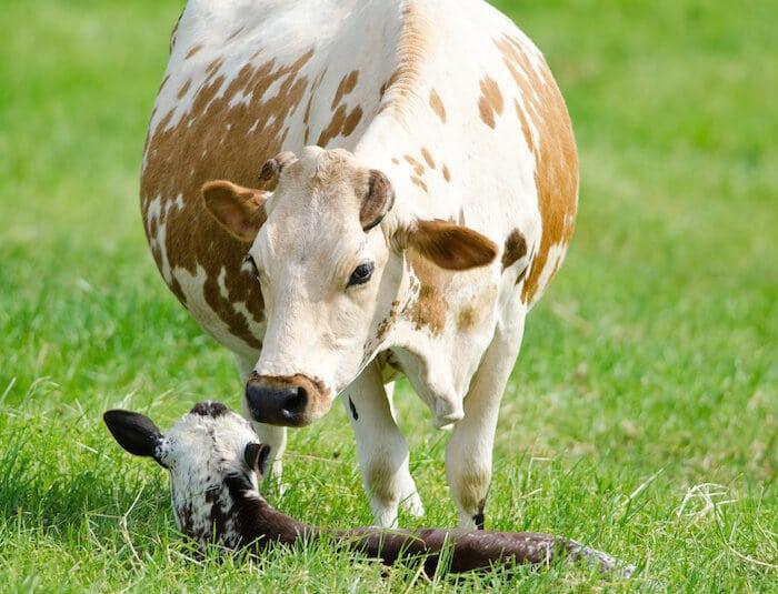 grass fed cow vitamin k2